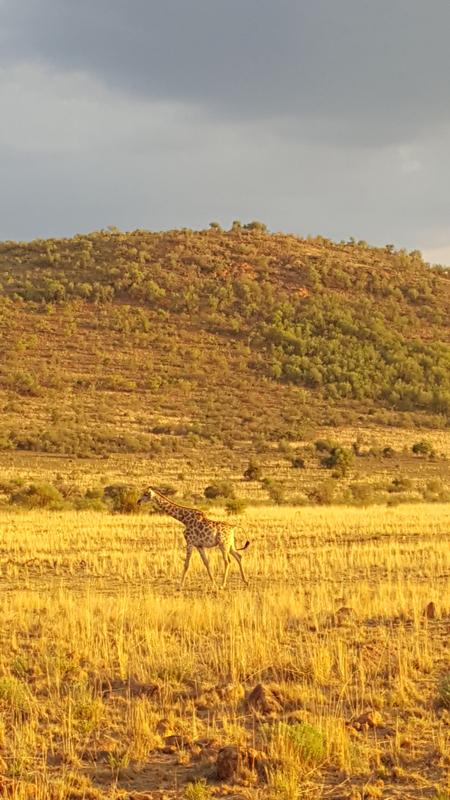 giraffe-yellow