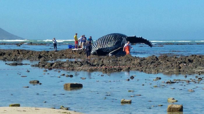 humpback-whale-stranded-cape-town