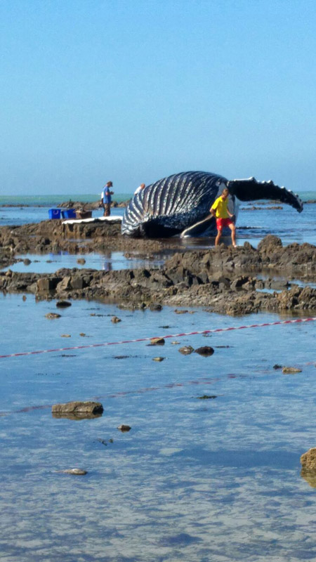 humpback-whale-stranded