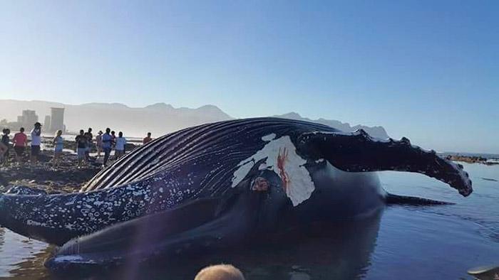 humpback-whale