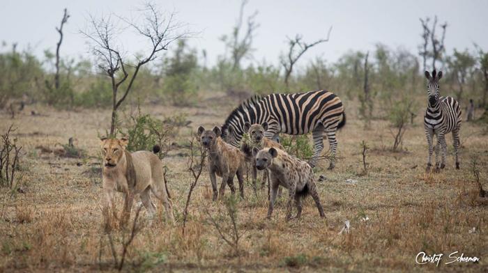 hyenas-lion-zebras-face-forward