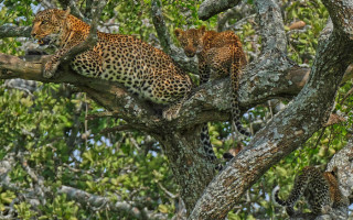 leopard-and-two-cubs-in-tree