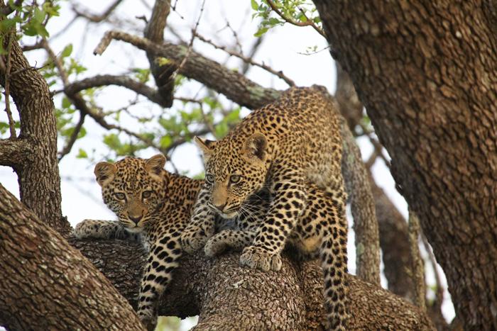 leopard-cubs-in-tree