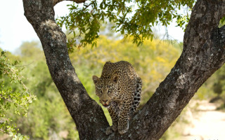 leopard-in-tree-kruger-andrew-nicholson-photography