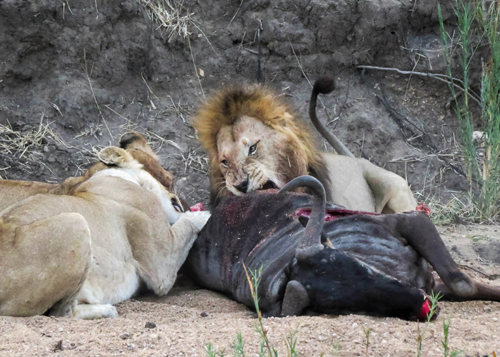 lion-and-cubs-feast-on-wildebeest