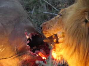 Lions kill 4 buffalo