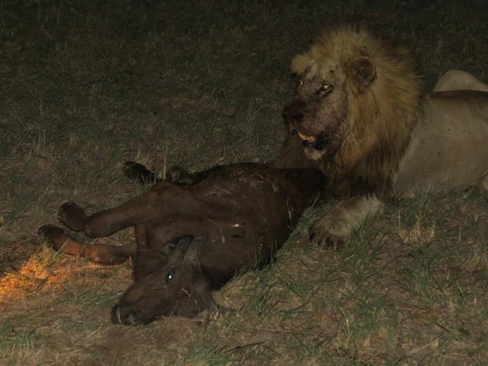 Video: 4 lions kill 4 buffalo at Djuma - Africa Geographic