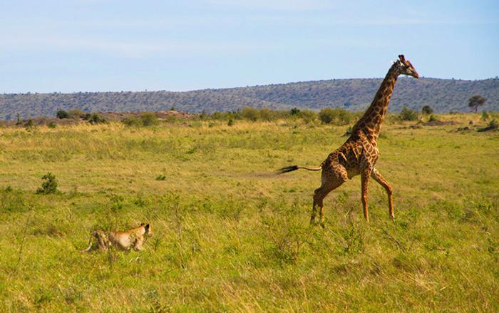 lion-hunt-maasai-giraffe