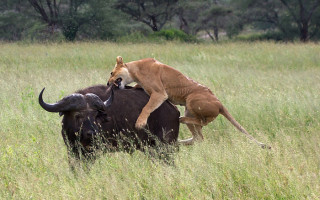 lion-hunting-in-ruaha