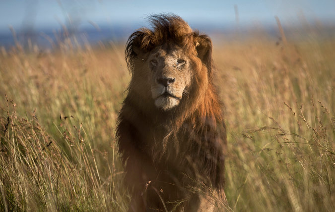 A lion in Kenya. In Kenya and some other African countries, hunting lions is illegal, but in others, tougher American import rules could reduce the number killed by hunters. ©Ben Curtis/Associated Press