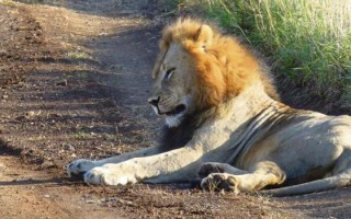 Mkuze Falls game reserve say their male lion will be returned home soon from Zululand Rhino Reserve, where he is pictured.