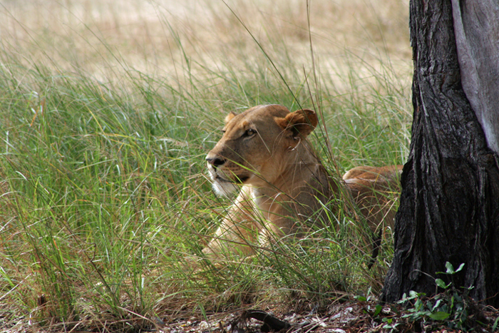 lioness-selous-game-reserve