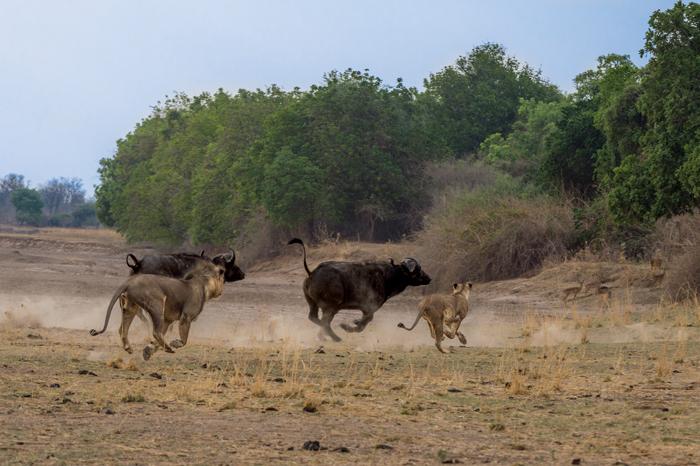 lions-buffalo-robin-pope-safaris