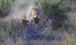 lions-digging-botswana