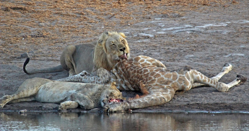 Etosha Lions are in for a feast ©Janine Avery
