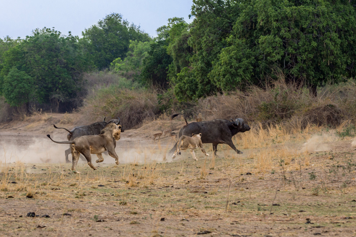 lions-hunting-buffalo