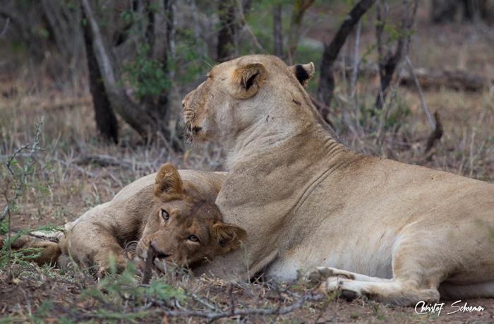 lions-resting
