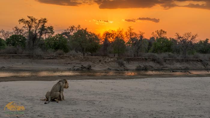 lions-south-luangwa