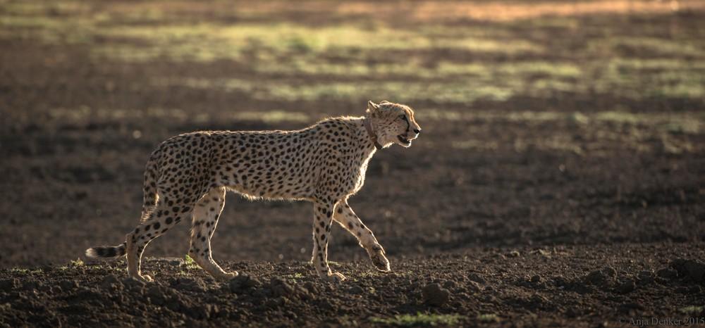 A collared cheetah at Okonjima ©Anja Denker