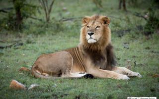 ol-kinyei-conservancy-lion