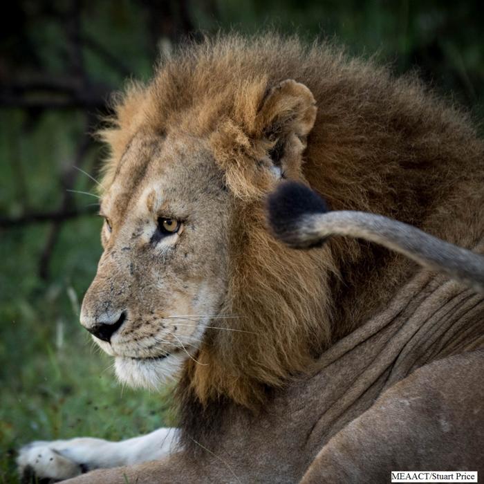 ol-kinyei-conservancy-lions