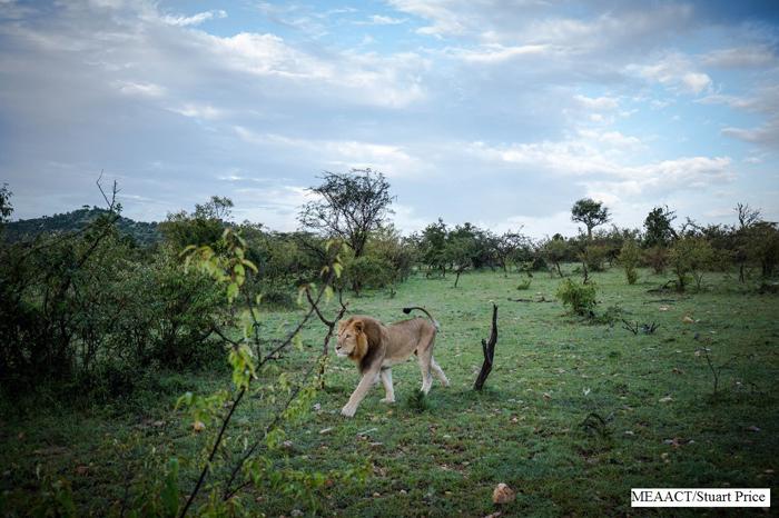 ol-kinyei-conservancy-maasai-mara-lion