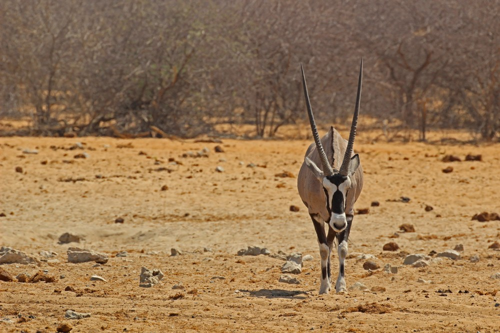 Etosha - Namibia's national animal holds fort ©Janine Avery
