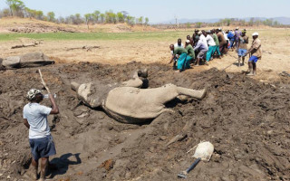 people-pull-elephant-from-mud