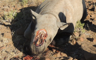 rhino-dehorned
