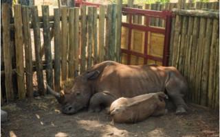rhino-in-holding-boma