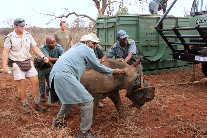 Loading of ​the calf at uMkhuze before it collapsed and had to be physically carried into the crate. It is a miracle that he survived!