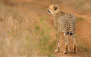 rhino-river-lodge-international-cheetah-day