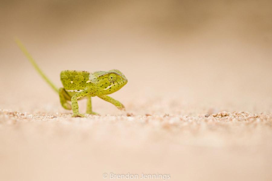 sabi-sand-chameleon