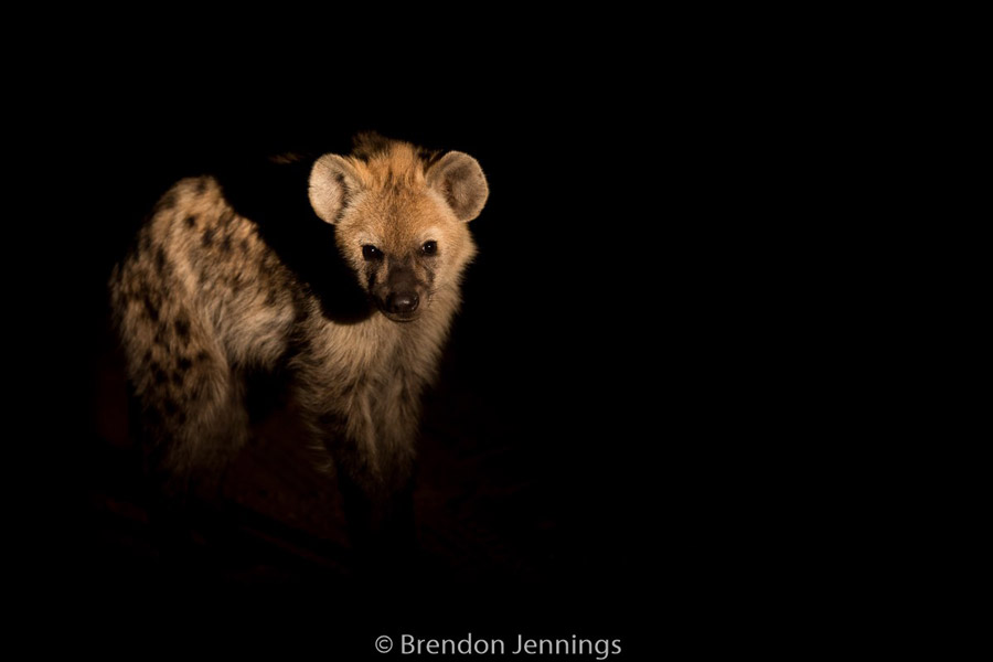 sabi-sand-hyena