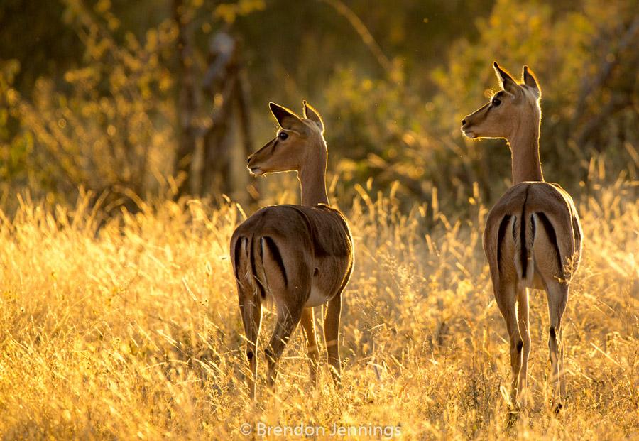 sabi-sand-impala