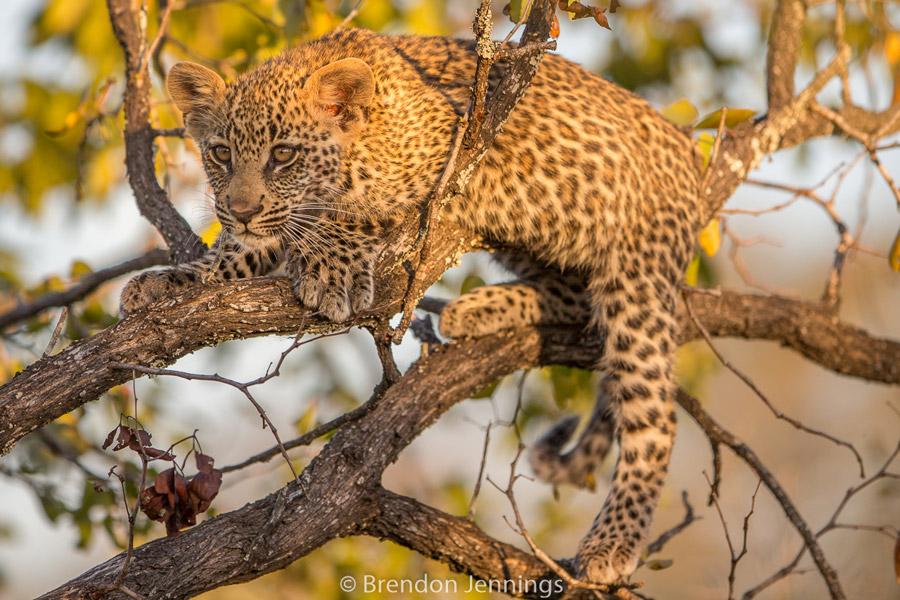sabi-sand-leopard-cub