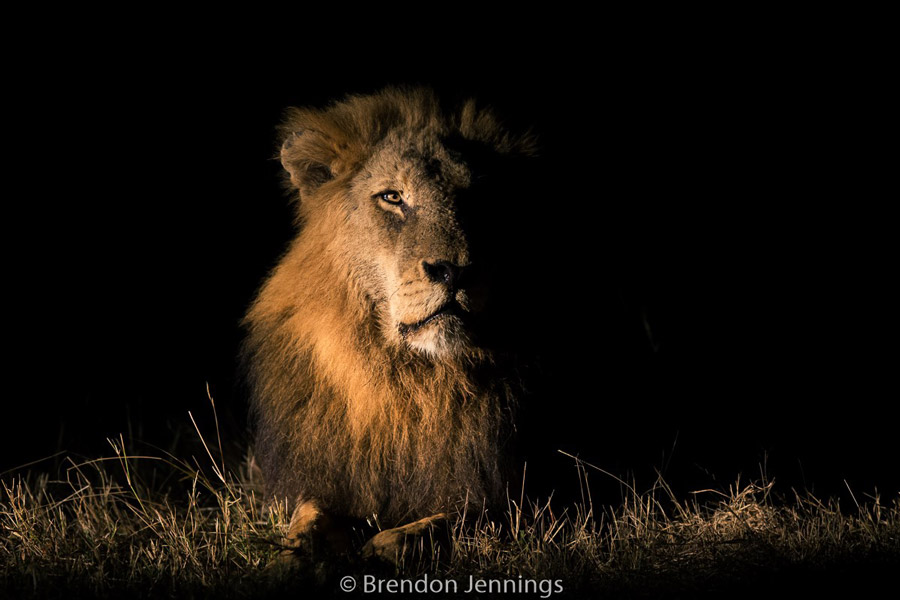 sabi-sand-male-lion