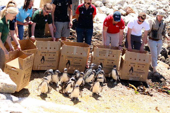 SANCCOB volunteers release the group of rehabilitated penguins at the Stony Point penguin colony in Betty's Bay. ©Roxanne Abrahams/SANCCOB
