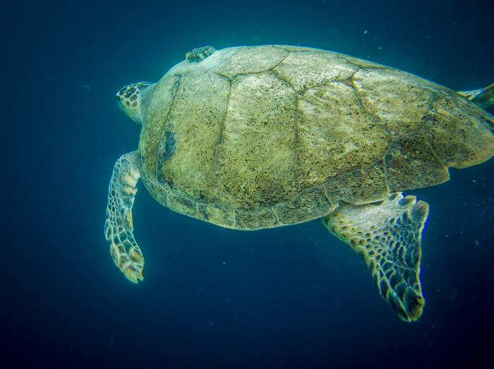 sea-turtle-swimming-ocean