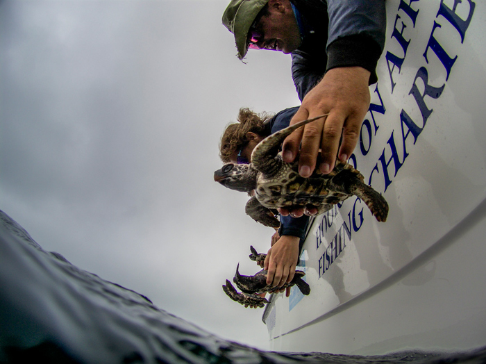 sea-turtles-released-over-side-of-boat