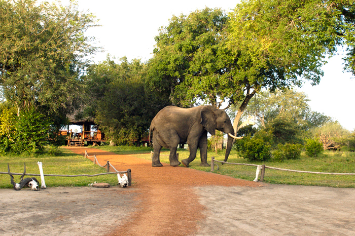 selous-game-reserve-elephant-in-camp