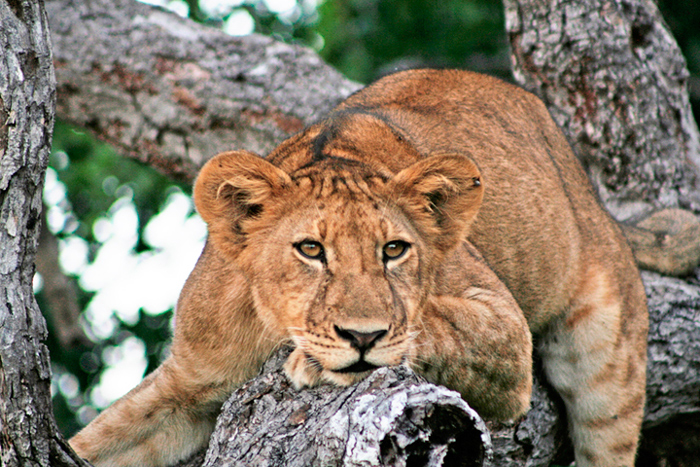 selous-game-reserve-lion