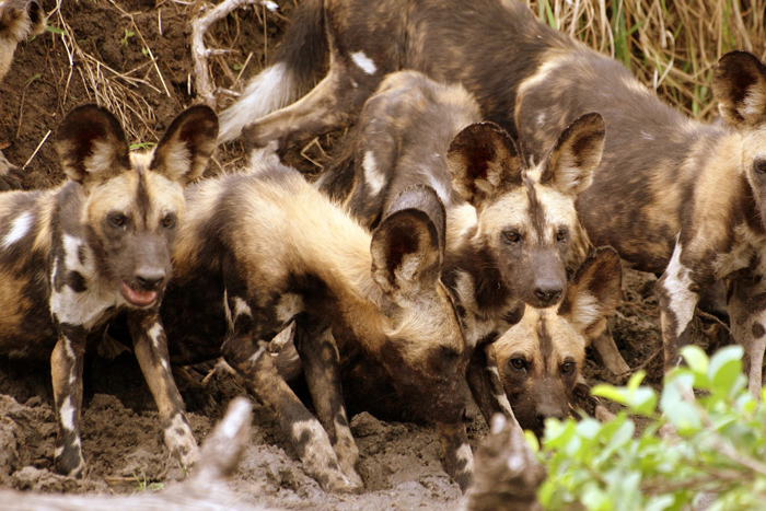 selous-game-reserve-wild-dog-stronghold