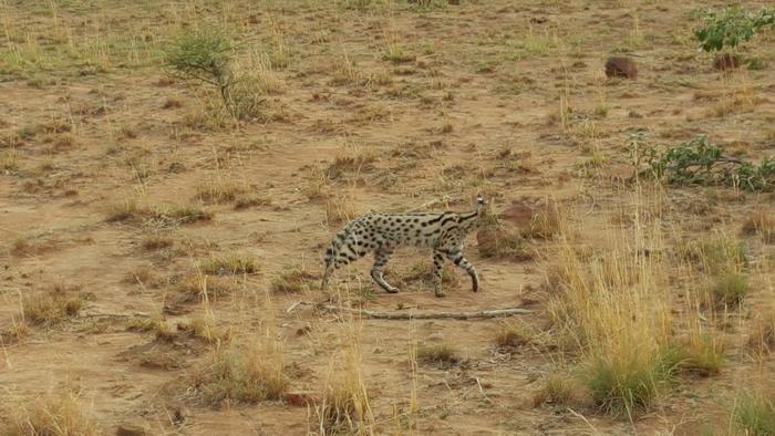 serval-pilansberg