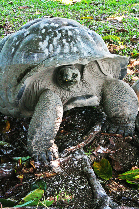 Aldabra giant tortoise at Fregate Island Private © Janine Avery