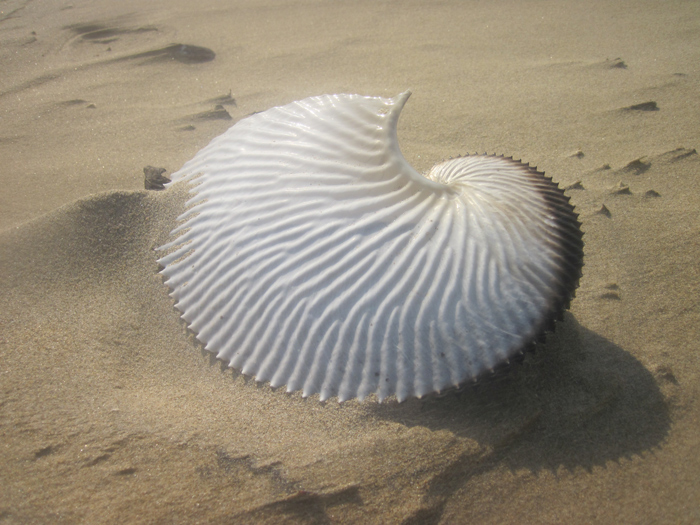 The egg chamber of a female paper nautilus