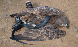 Brown snake eagle with snake.