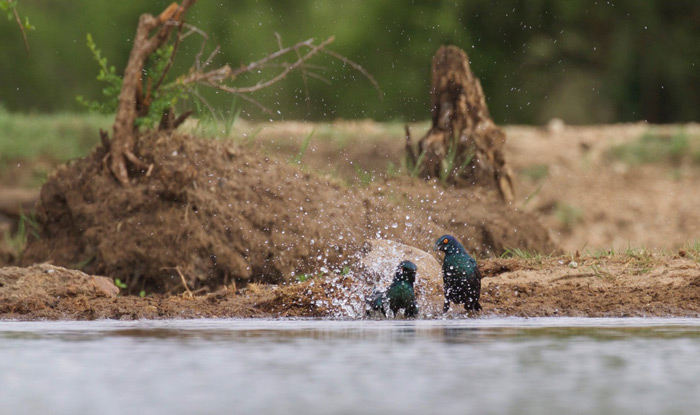 two-glossy-starlings-bathing