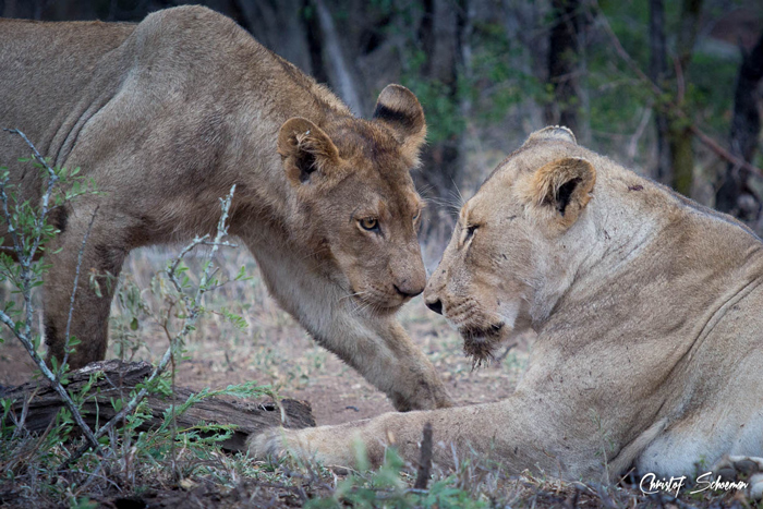 two-lions