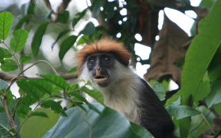 Udzungwa red colobus © Marc Veraart